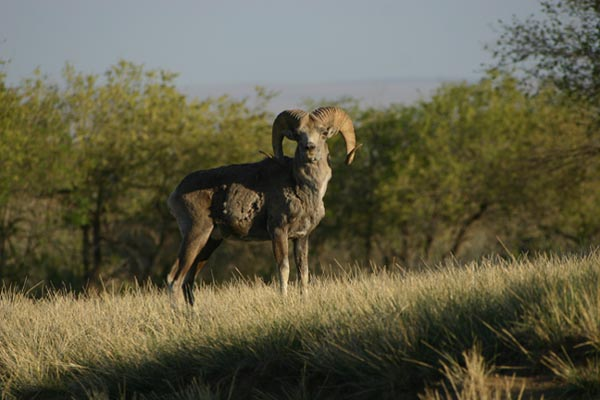ARGALI SHEEP (OVIS AMMON)