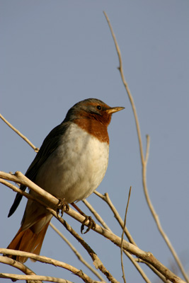 RED-THROATED THRUSH (TURDUS (RUFICOLLIS) RUFICOLLIS)