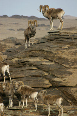 ARGALI SHEEP RAMS
