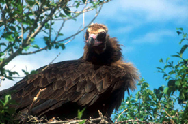 CINEREOUS VULTURE PROJECT